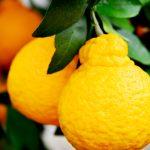 熊本で普及した果物「デコポン」は、厳しい条件をクリアした優等生!