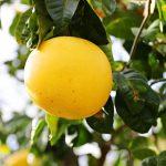 世界イチ!?BIGなみかんは爽やかな香り。熊本の「晩白柚」